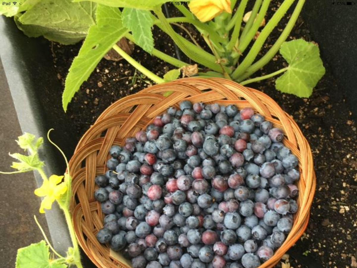 Harvest Blueberries