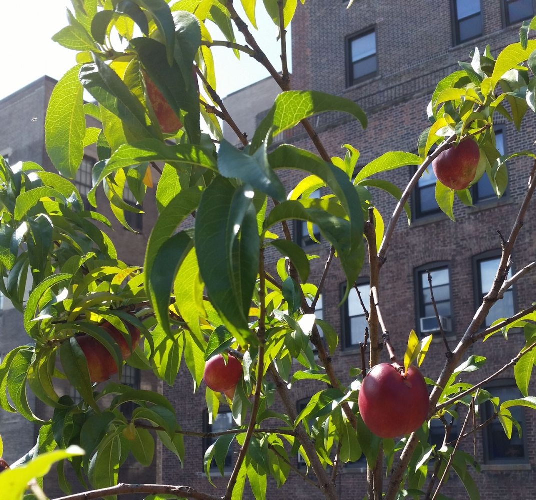 Nectarines on 74th