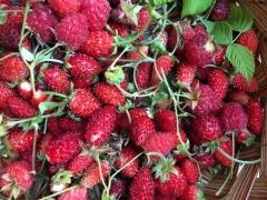 Harvest Berries