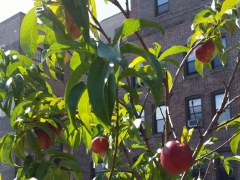 Nectarines on 74th