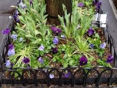Tree-pit-spring-purple