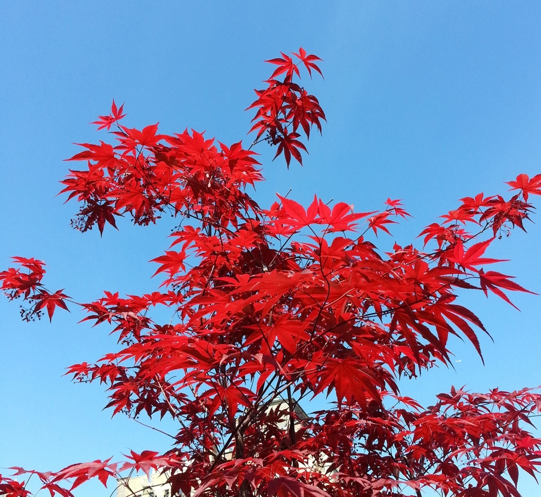 Very-red-maple